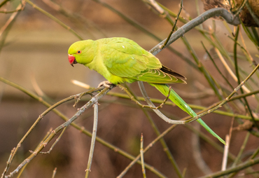 sbisson-parrot-49487515926_0c97364f80_o.jpg