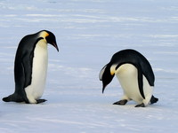Thumbnail image for Emperor_penguins_(2).jpg