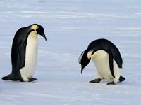 Thumbnail image for Emperor_penguins_(2).jpg